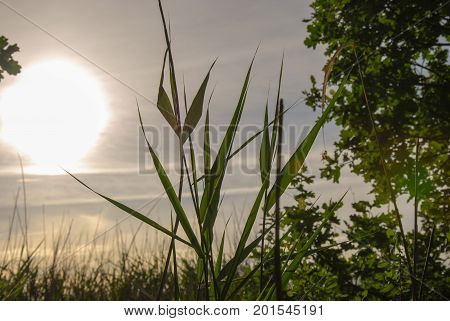 Green reed leaves closeup by sunset in a lush greenery