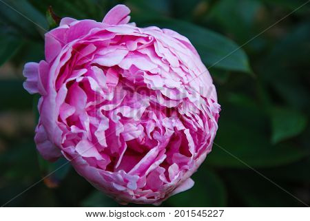 Pink blossom peony flower closeup by a dark background