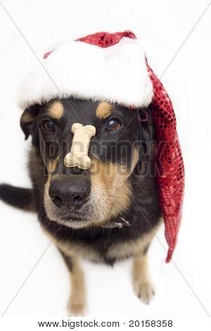 Santa' dog  balances a cookie