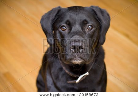 black lab dog