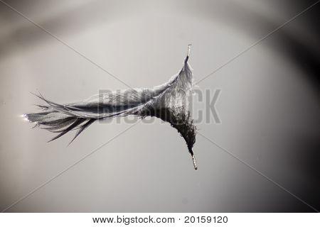 pluma pacífica