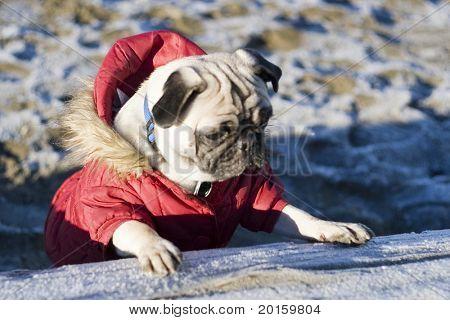 Warte auf mich - ich bin der Anführer - Mops Hund am Strand