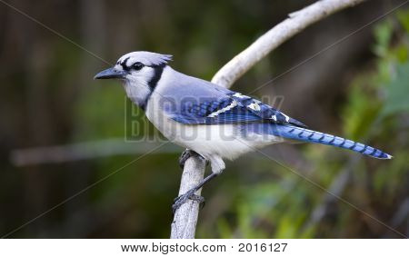 Bluejay On A Branch.