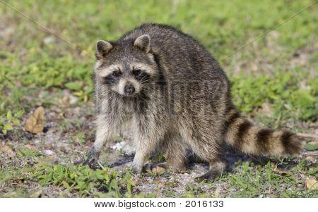 Raccoon In The Sun.