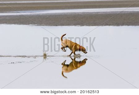 beautiful dog running in water