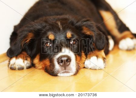 a sleepy bernese puppy takes a nap on a hardwood floor