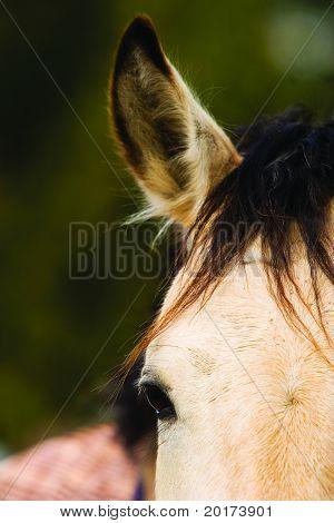 pretty dun gelding close up