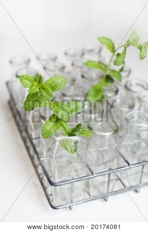 an old antique tray of milk jugs with fresh mint sprigs