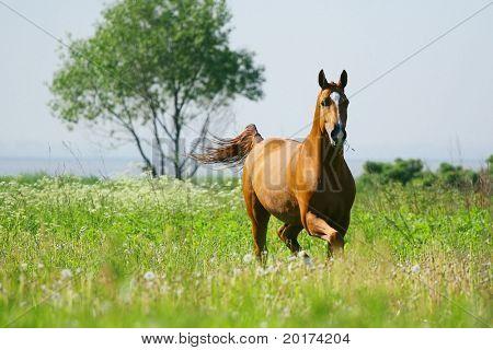 chesnut stallion