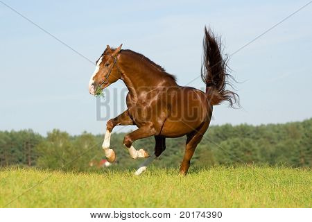 chestnut stallion Rodeo-Klass