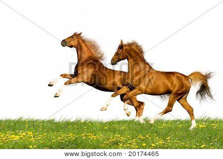 two bavarian chesnut horses
