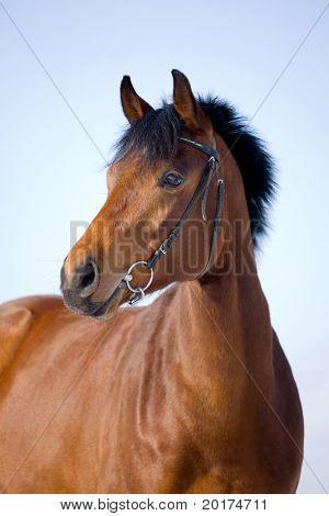 portrait of bay trakehner mare