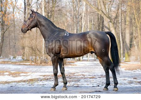 eksterjer of black stallion