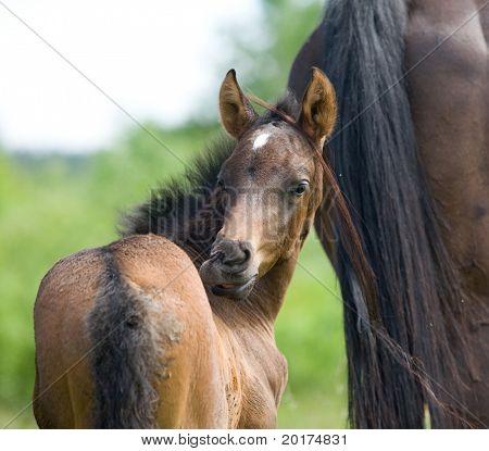 trakehner foal in field