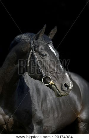 portrait of beautiful black horse in black background