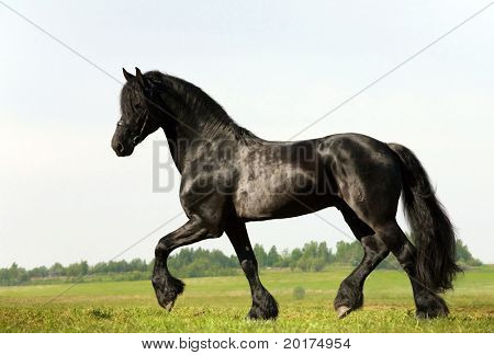 friesian stallion trot in field