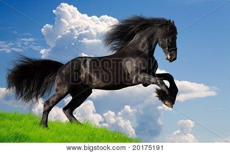 friesian stallion gallop in summer