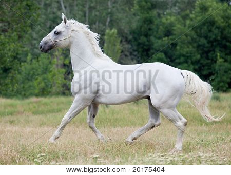 Beautiful  metallic gray hanoverian stallion galloping in wood