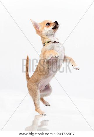 Chestnut chihuahua jumping in studio on white background