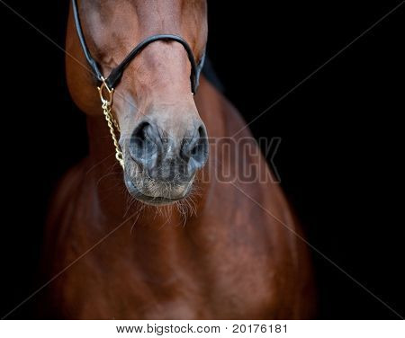 Bay horse isolated on black background, nose.