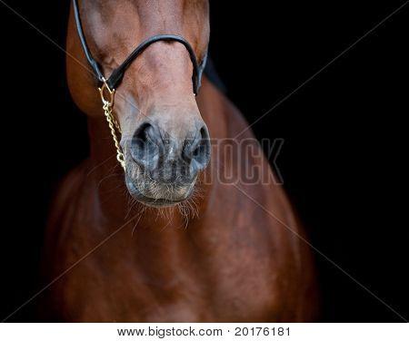 Bay horse isolated on black background, nose.