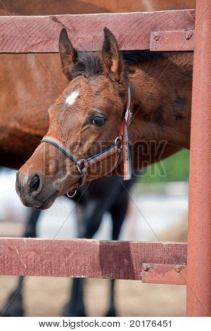 Small foal trakehner bay foal near fence.