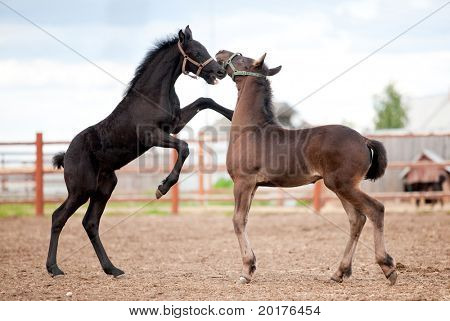 Two black friesian foals playing in paddock.