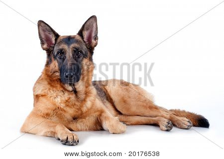Schäferhund liegend vor, isolated on white Background, Studio shot.