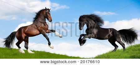 Friesian and Vladimir horses gallop in field
