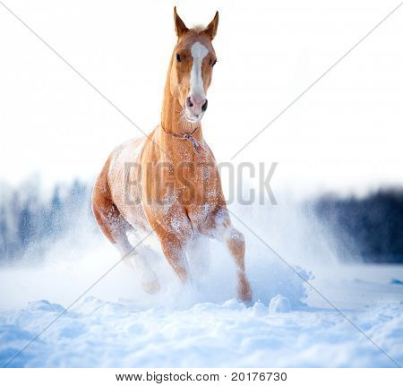 Chestnut horse run gallop in winter