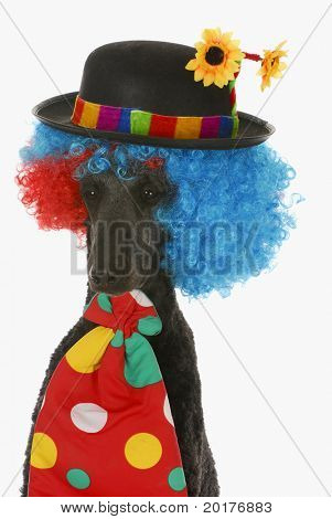 dog clown - standard poodle wearing clown wig, hat and tie on white background