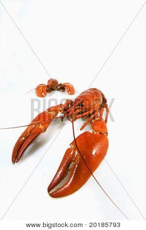 crayfish against whites