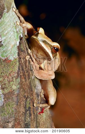 tree frog in Brazil tropical amazon rain forest beautiful night animal and endangered amphibian frog sitting on branch jungle treefrog macro