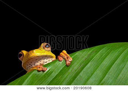 tree frog in Brazil tropical amazon rain forest night animal endangered amphibian green frog hiding behind palm leaf in dark jungle Hypsiboas geografica on black background jungle treefrog exotic frog