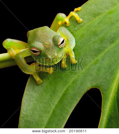 tree frog in Brazil tropical amazon rain forest beautiful night animal and endangered amphibian green frog sitting on green leaf nice background with copy space small glass frog macro