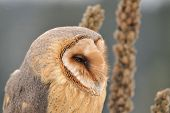 picture of goldenrod  - Barn owl face looking right with goldenrod - JPG