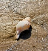 image of whelk  - A whelk shell on wet sand on a beach - JPG