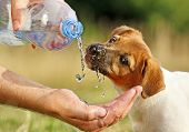 stock photo of drinking water  - A dog  - JPG
