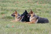 image of shepherd dog  - Three German shepherds laying in a grass - JPG