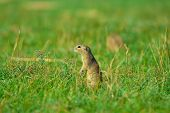Alerted Squirrel . Ground Squirrel Alert And Watching Around. Cute Mammal poster