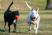 picture of dog park  - running white and black dog - JPG