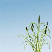 picture of bull rushes  - bullrushes and grass vector - JPG
