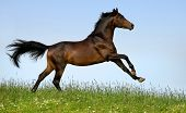 picture of running horse  - horse running - JPG