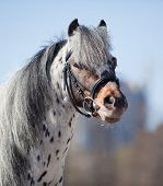 image of appaloosa  - Portrait of small pony appaloosa - JPG