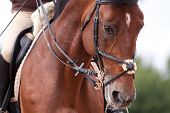 stock photo of girth  - Bay horse training in bridle at summer - JPG
