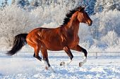 picture of winter sport  - Bay trakehner stallion galloping in winter - JPG
