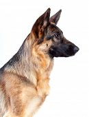stock photo of german shepherd  - German Shepherd isolated on white background - JPG
