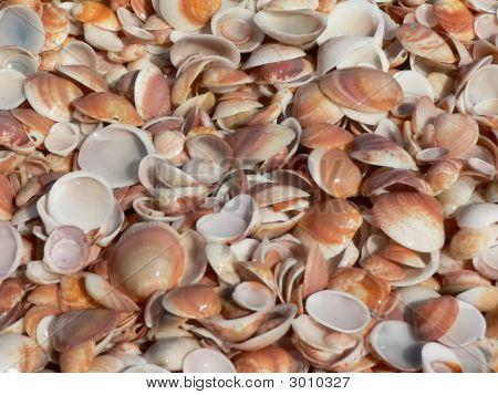 Sea Shells Natural Texture