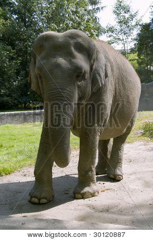 A joung elephant bull