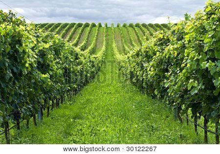 Beautiful green rows